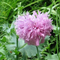 Papaver somniferum - lavender double-flowered Opium Poppy