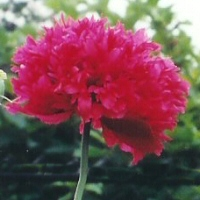 Papaver somniferum - red double-flowered Opium Poppy