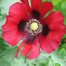 Papaver somniferum - red single-flowered Opium Poppy