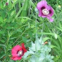 Papaver somniferum - two single-flowered Opium Poppies