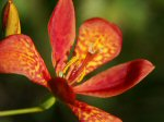 Pardancanthus norrisii - Blackberry Lily