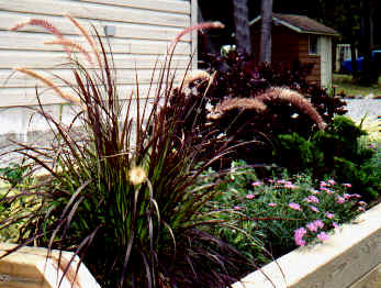 Purple-Leaved Fountain Grass