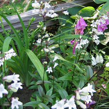Penstemon digitalis 'Husker Red' - Beard-tongue