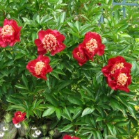 Paeonia lactiflora - large-flowered red Garden Peony