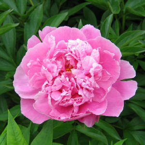 Paeonia - a pink form