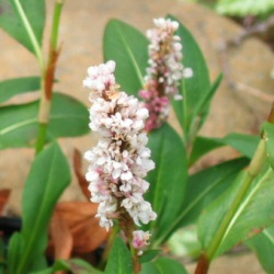 Persicaria affinis 'Border Jewel' - 'Border Jewel' Knotweed, Fleeceflower
