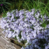 Phlox subulata 'Blue Emerald' - Creeping Phlox