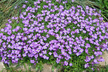 Phlox subulata - lavender with a white eye
