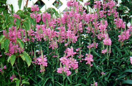 Physostegia virginiana - pink Obedient Plant