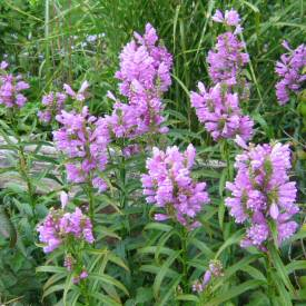 purple Physostegia virginiana - purple Obedient Plant