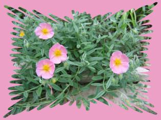 Pink Perennials Their Companions 1