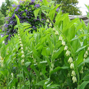 Polygonatum odoratum - Solomon's Seal