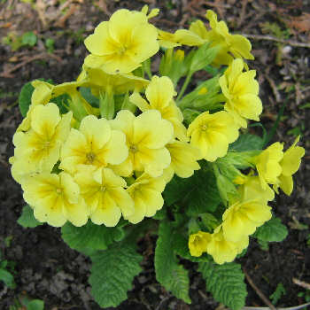Primula - soft yellow
