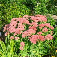 Sedum spectabile 'Autumn Joy' - 'Autumn Joy' Sedum