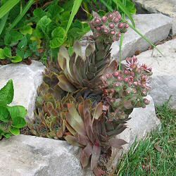 Sempervivum tectorum - a red-foliaged form