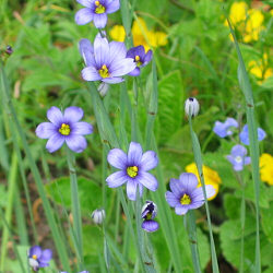 Sisyrinchium angustifolium - Blue-Eyed Grass