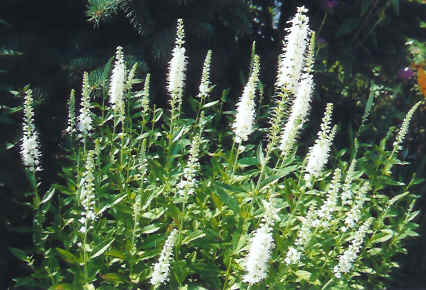 white Veronica 'Icicle'