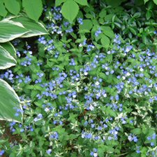 Veronica 'Miffy Brute' - variegated groundcover