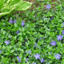 Vinca minor - Common Periwinkle