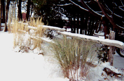 ornamental grasses in the snow