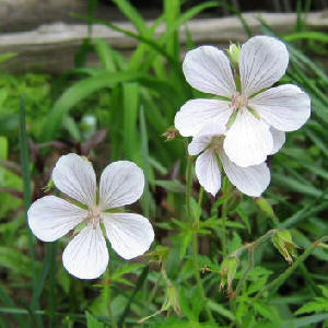 Hardy Geranium - white possibly 'Kashmir White'